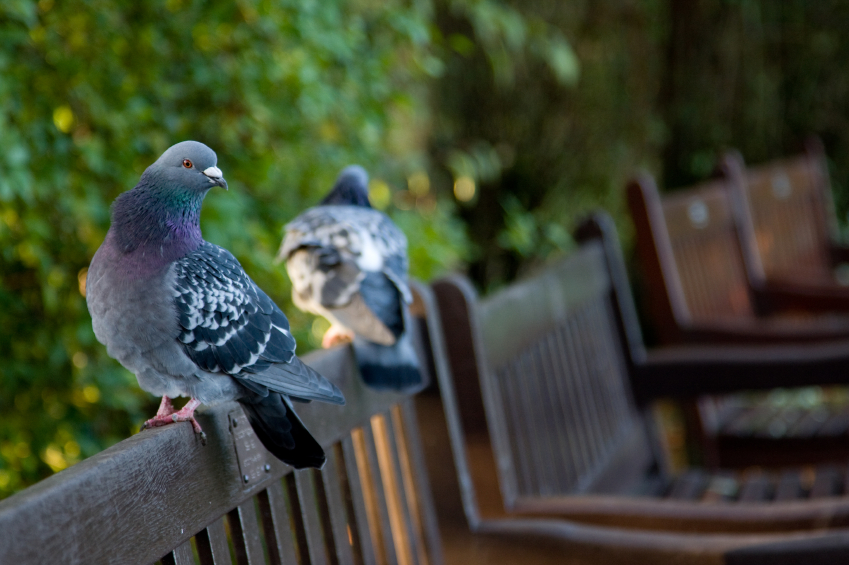 essay on pigeon bird for kids Pigeon: pigeon, any of several hundred species of birds constituting the family columbidae (order columbiformes) smaller forms.